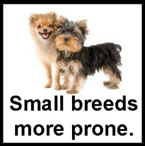 Small Breeds Prone